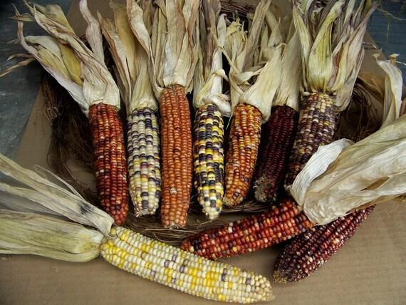 6 Pieces Dried Indian Corn Autumn Thanksgiving Decor
