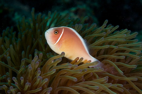 Tropical Decor Underwater Photography print of Clown Fish Photo ~ Beach Home Decor
