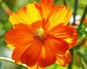 Cosmos, Bright Lights Cosmos Seeds - Wonderfully Bright Cutting Flower