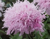 Poppy, Lilac Pom Pom Poppy Seeds - Frilly Lilac Lavender Beauty