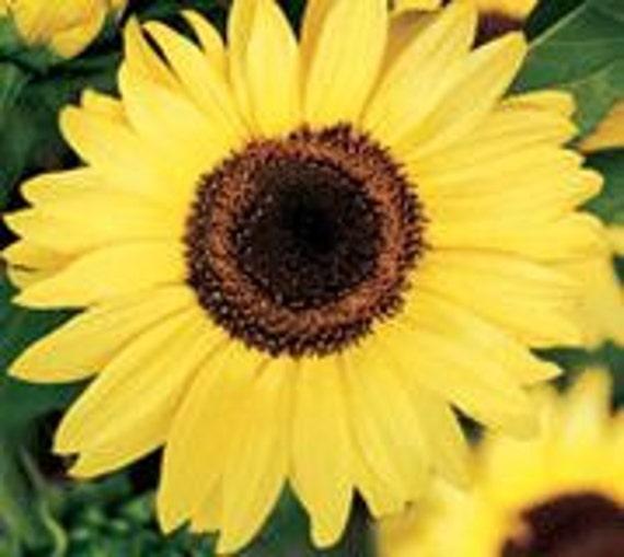 Sunflower, Moonshine Sunflower Seeds -  Bright, Bold, Gold Petals -  Only 4 ft Tall