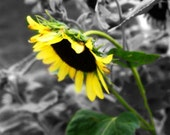 Sunflower photo, flower photo, nature photography, flower photography, wall decor