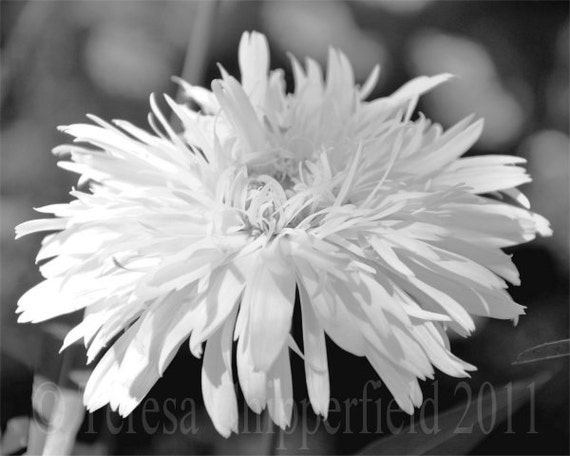 Black and White Photo, Pretty White Daisy, Flower Photo, Fine Art Photography, Bokeh, Floral Wall Art, Feathery Petals, 8x12,12x18,16x24