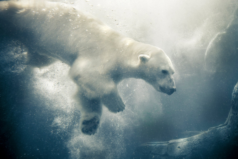 Polar Bear Blue Photograph Arctic Animal Art By PenumbraImages