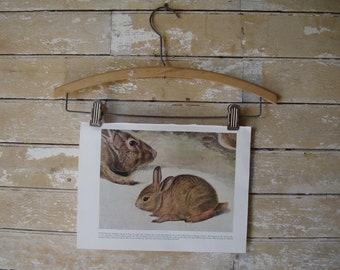 Vintage  Print or Plate  Audubon Drawing Cottontail Rabbit  1954 Book