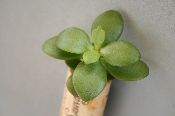 Succulent Cork Magnet, Franciscan Jade