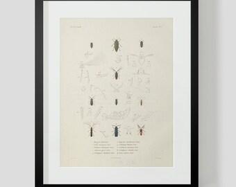 Beetles Plate 1