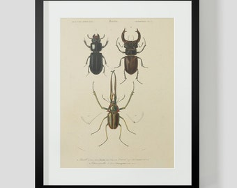 Vintage Insect Coleopteres Entomology Plate 7