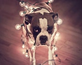 """Boxer Dog Photography, Dog wrapped in Holiday Lights, Dog Portrait, Home Decor, Fine Art Photography 5x5, 5x7, 4x6, """"Will Work For Treats"""""""