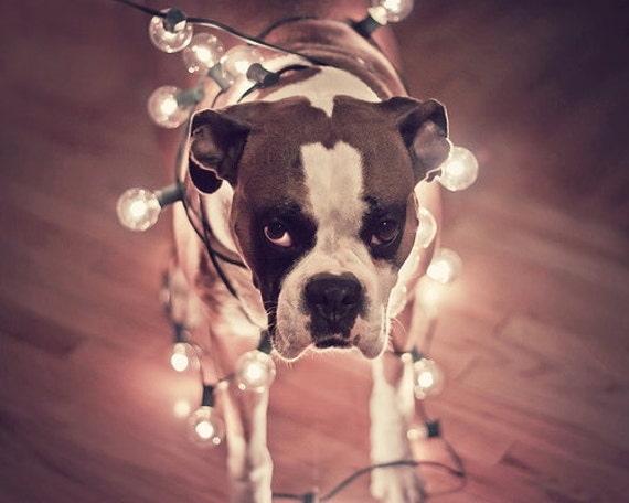 """Humor Photography, Dog Portrait, Boxer Dog Photo, Dog wrapped in lights, Home Decor, Fine Art Photography, 8x8, 8x10 """"Will Work For Treats"""""""