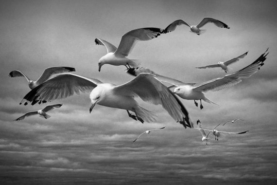 Flock of Gull Scavengers on the prowl by the Straits of Mackinac in Michigan A Black and White Bird Seascape Photograph