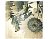 Fine Art Photography, Vintage Look Photography, Floral Photography, Sepia, Sun, Sunflowers, July, Summer, 5x5 print - cottagelightstudio