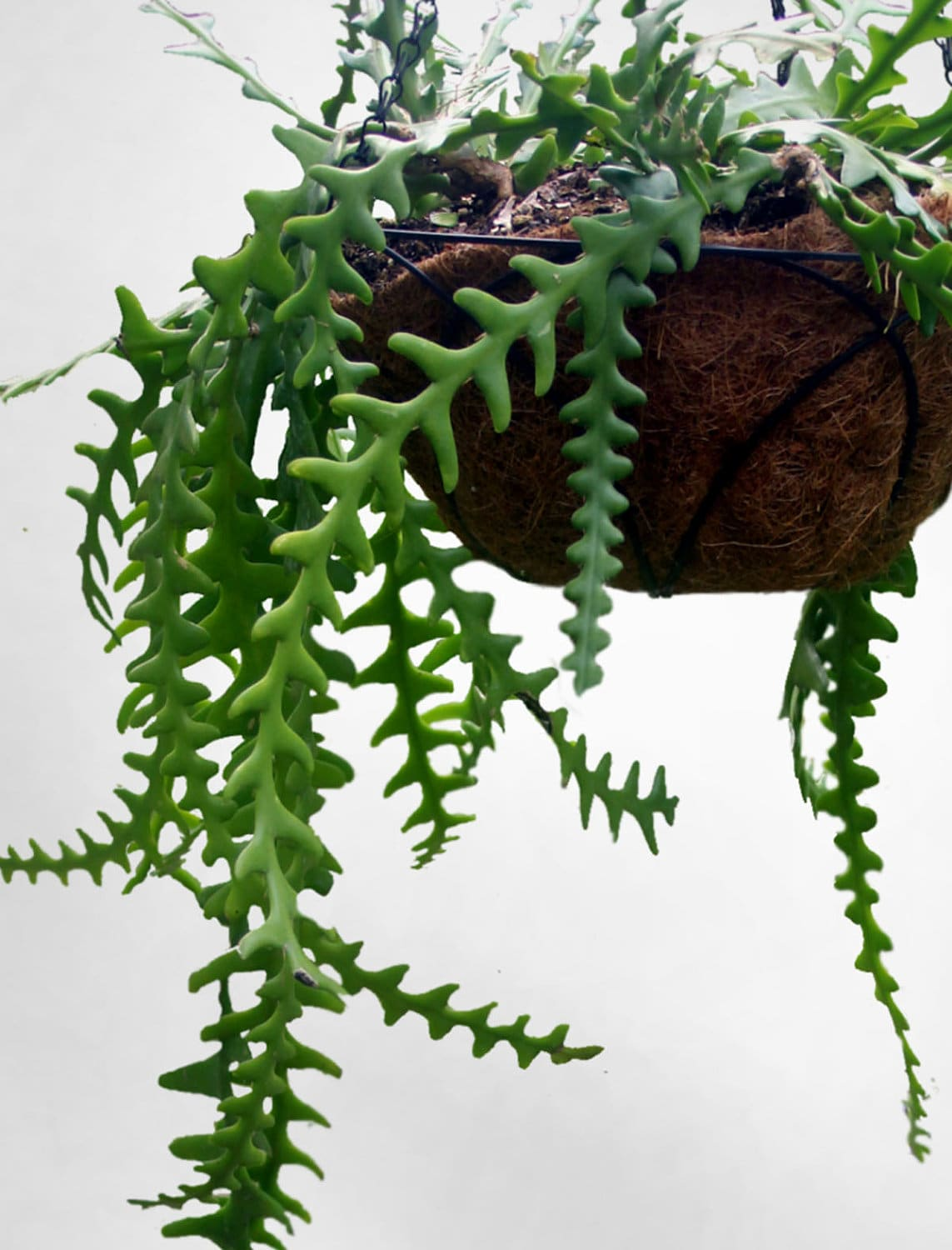 Draping Plants Fern Leaf Cactus Hard To Find Cati With Amazing Draping Fern