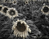 Photograph Ghostly Sunflowers Abstract number 2  Fine Art unmatted