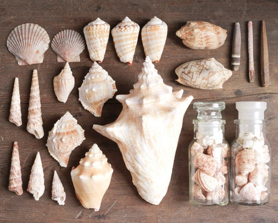 Vintage Seashell Collection - Natural History Decor, Curiosity Cabinet Specimens, Lot of over 25 Shells