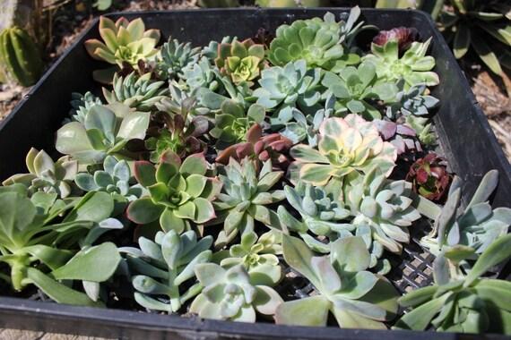 "RESERVED for Liz 160 ROSETTE cuttings  40 4"" greens/teals/aquas/greys"
