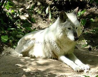 PHOTO CARD, wolves, wolf cards, castteam, Ellen Strope, cabin decor, lodge decor, wildlife, wildlife decor, wolf decor, note cards
