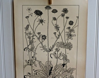 LARGE Vintage Plant Form Print-Book Plate-Scabiosa-1903-Found in Dublin