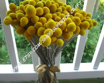 "Craspedia - Billy Balls - Billy Buttons  -- set of 24   -- Preserved  -- 8"" long"