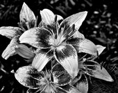 Flower Photos, Flowers, Lily, Black and White, Nature Photography, Lilies