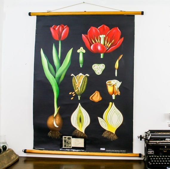 Vintage Botanical Chart, Tulip, Jung Koch Quentell School Pull Down Chart