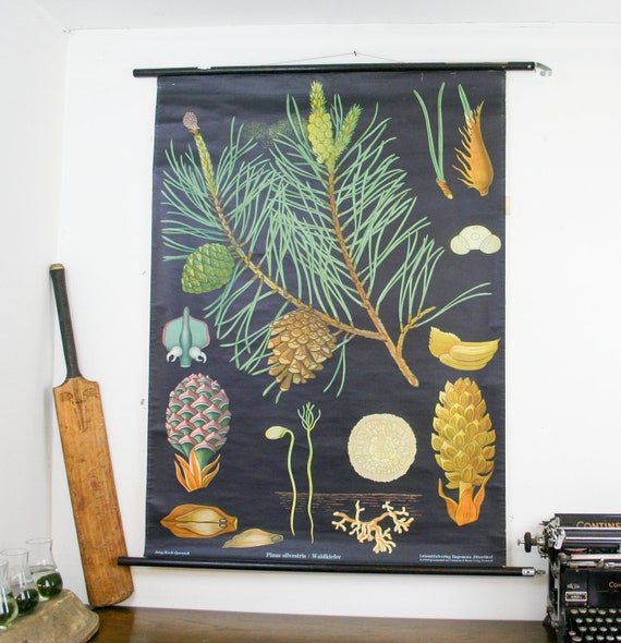 Vintage Botanical Chart, Pine Tree, Jung Koch Quentell School Pull Down Chart
