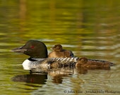 A Loon Parent with two chicks