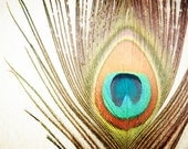 """Feather Photography, peacock photo nature still life print brown orange teal aqua beige wall art 8x10 Photograph, """"My Fine Feathered Friend"""""""