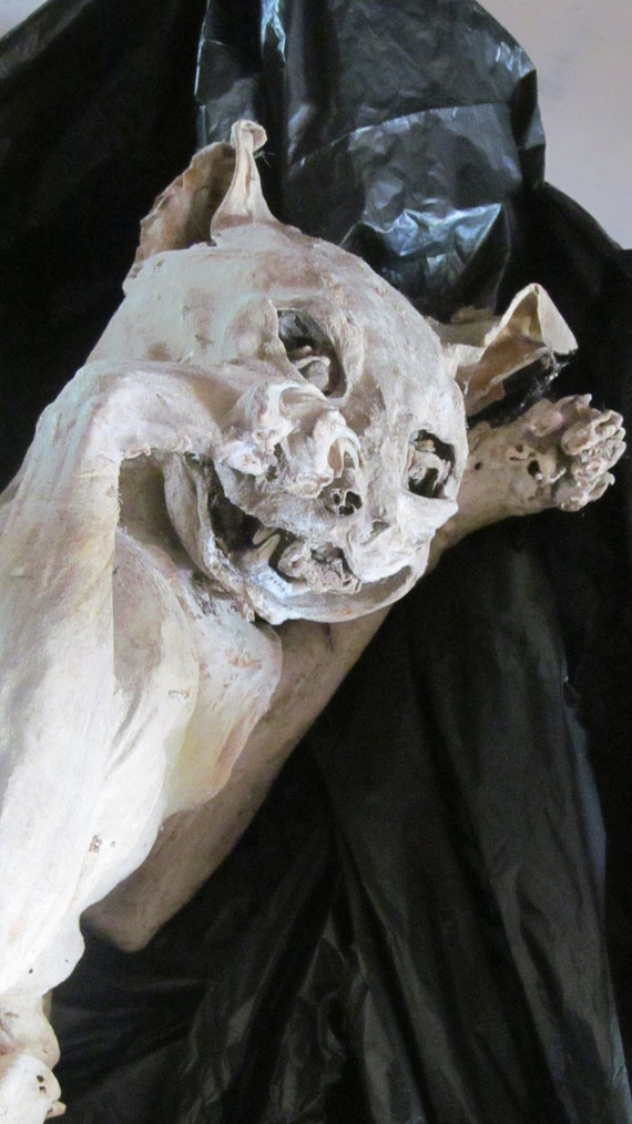 Mummified Cat with mummified eyeballs & tongue