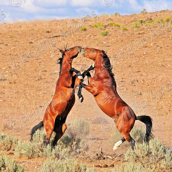 "The Battle 4 - Mustang Stallions - 8"" x 8"""