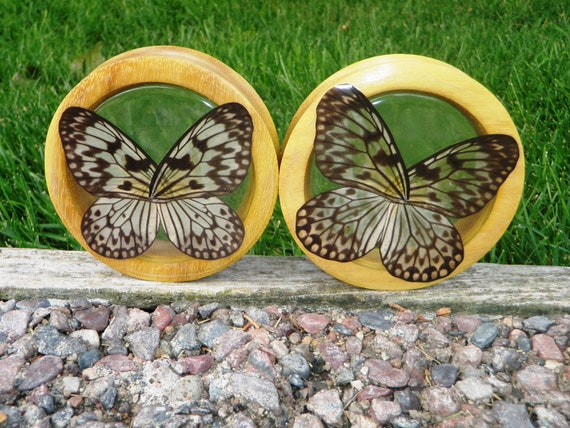 """3 1/2"""" Real Butterfly Wing Tunnels - custom listing"""