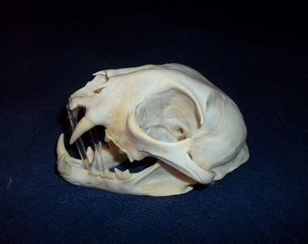Bobcat Skull real animal bone part head skeleton taxidermy