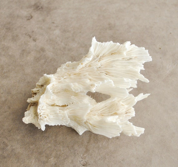 beautiful white angel wing coral branch specimen (1 pc)