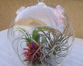 "X-Large 8"" Glass Plant Orb/Terrarium with 3 Air Plants"
