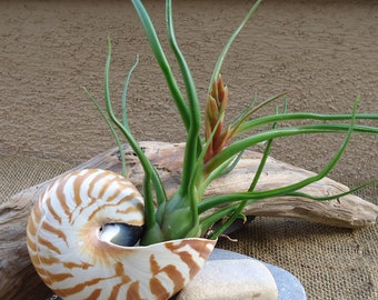 "3.5-4"" Nautilus Shells Perfect for Mounting Tillandsia"