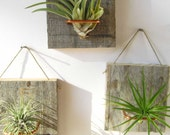 Set of Three Air Plant and Barn Wood Grab Bag Small Form airplants - NiaCraft