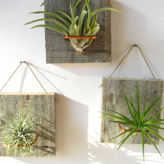 Set of Three Air Plant and Barn Wood Grab Bag Small Form airplants