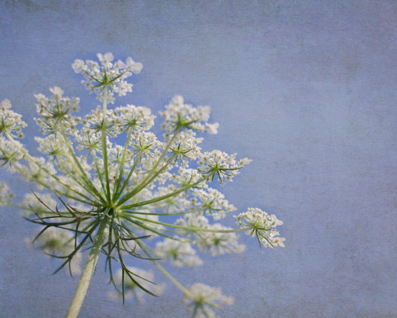 White Flower Photography 8x10, Blue Nature Decor, Floral Photo, Queen Anne's Lace Photograph, Cottage Chic Art