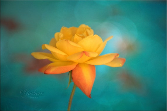 Flower of Love - Photography print of yellow rose.  Enchanted and romantic. Yellow and teal turquoise green, wall art, home decor