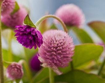 Heirloom 500 SEEDS Globe Amaranth Gomphrena globosa Gnome Pink Flower Bulk B1069