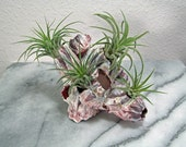 4 AIR PLANTS on Shell - 4 Tillandsia Ionantha Honduras Air Plants on Beautiful Shell - Give a Live Gift