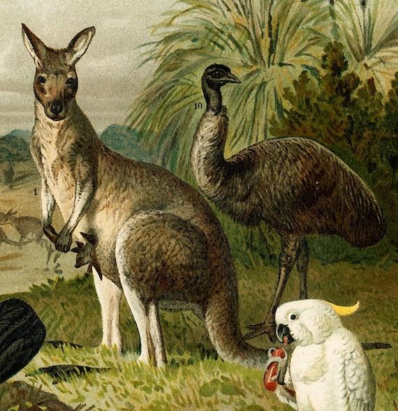 Kangaroo, platypus, Tasmanian tiger, Australian fauna: Antique 1890s chromolithograph