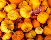 Pumpkins -  Nature photography, landscape photography, fall, autumn, fine art print, gourds, new england