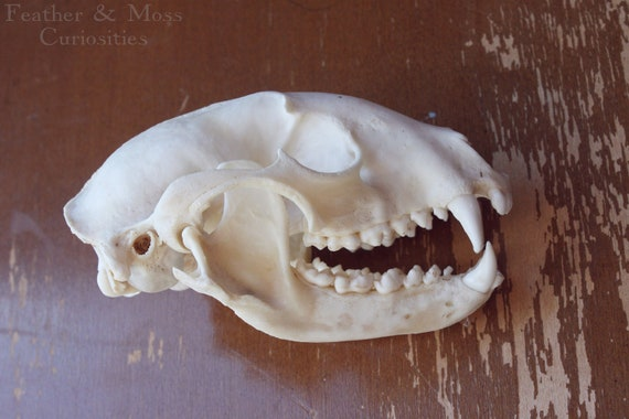 Raccoon skull.  Natural history curiosity.