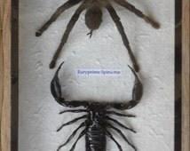 Real Scorpion&Spider Tarantula Taxidermy in wood box /inf27