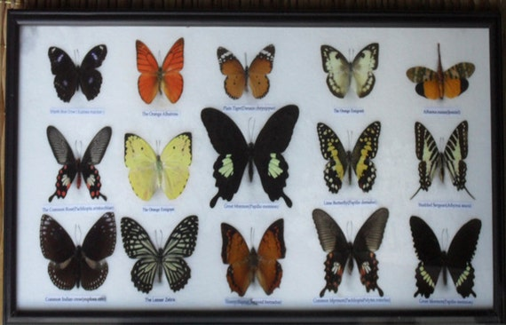 REAL 15 BEAUTIFUL BUTTERFLIES Collection in Frame/BF17M