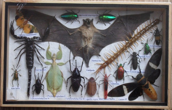 REAL Multiple INSECTS BEETLES Scorpion Bat Leaf Insect Collection in wooden box/is08t