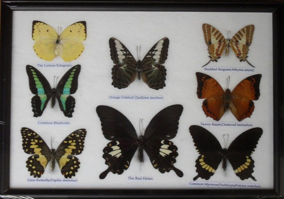 REAL 8 BEAUTIFUL Butterflies Collection Framed / BF20i
