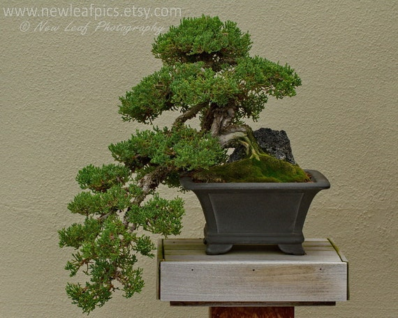 Bonsai Print, Japanese art, green and brown botanical print, 8x10 photo, fine art print