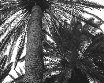 Desert Palm Trees Black & White Photograph